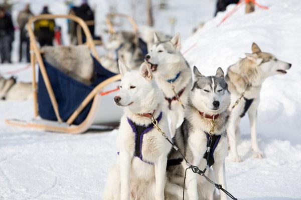 Hiver Québec - Traîneau à chiens